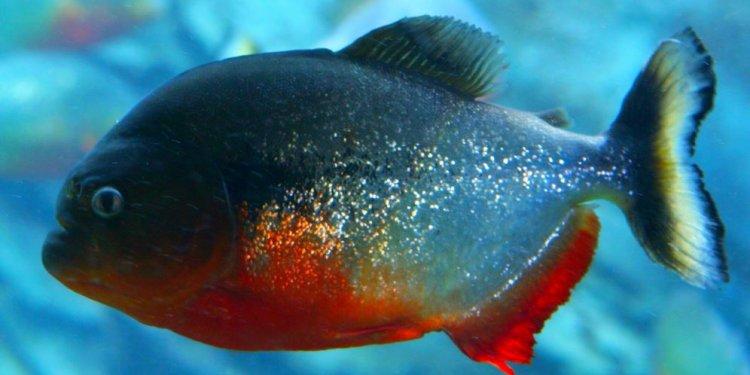 Amazon river piranha