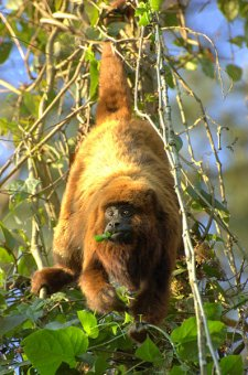 Brown Howler Monkey. Picture:Dario Sanches