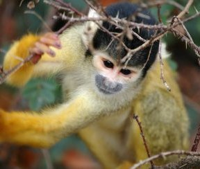 Squirrel Monkey. Photo:Marieke Kuijpers